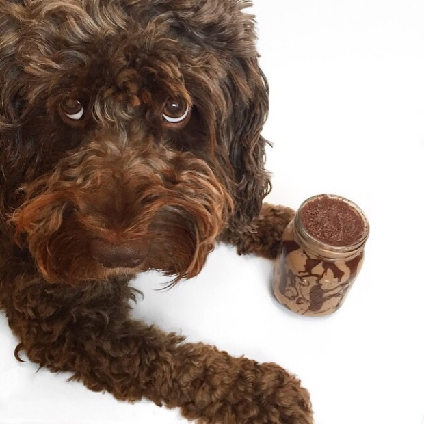 chocolate cockapoo